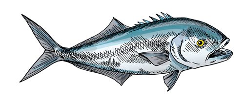 maine bluefish
