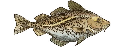 Maine Cod