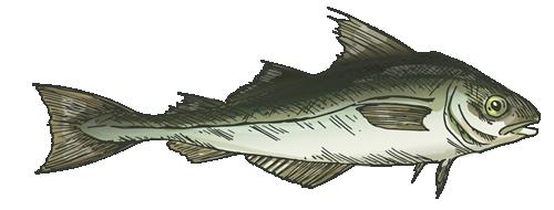 maine haddock