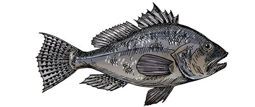Maine Sea Bass