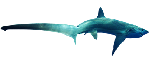 Maine Thresher Shark